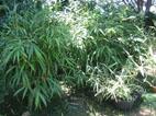 Barrière Anti Rizhome Lesbambousfr Forum Des Fous De Bambous